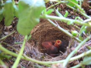 Baby juncos at Marymoor Park