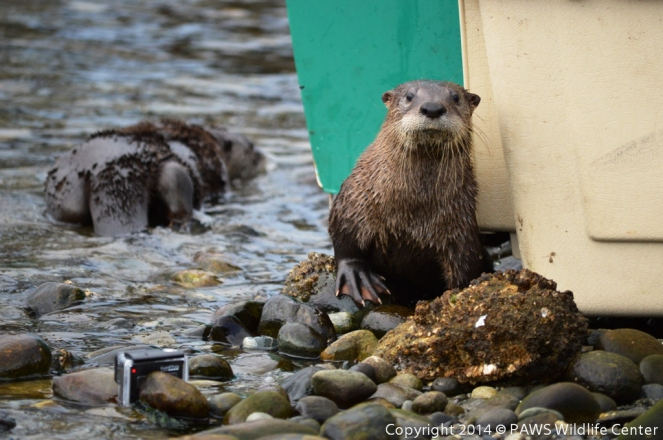 River Otter Releases PAWS 10202014 JM (1)-1
