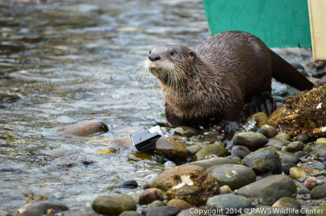River Otter Releases PAWS 10202014 JM (2)-2