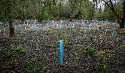 Planting event along the Tolt river