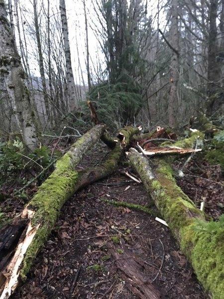 issaquah tree