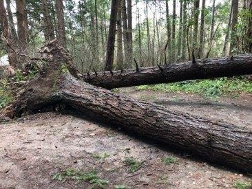 kirkland tree 2