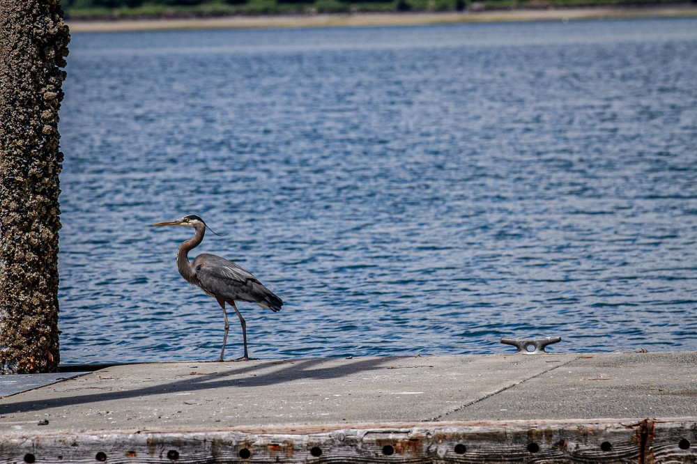 Dockton Park - heron on dock
